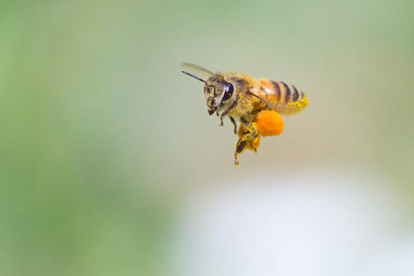 蜜蜂花粉 ビーポーレン