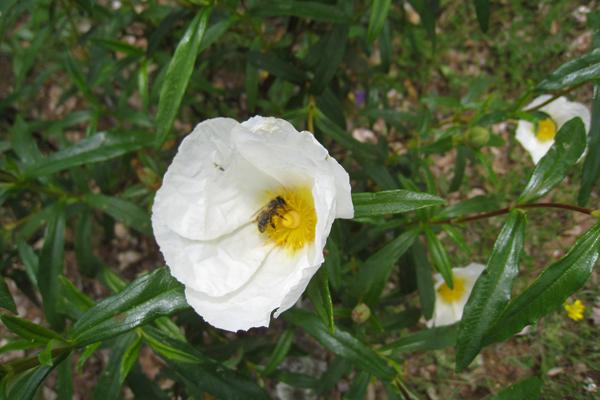 シスタスの花(現地名ハーラ)